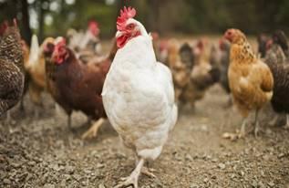 chickens come home