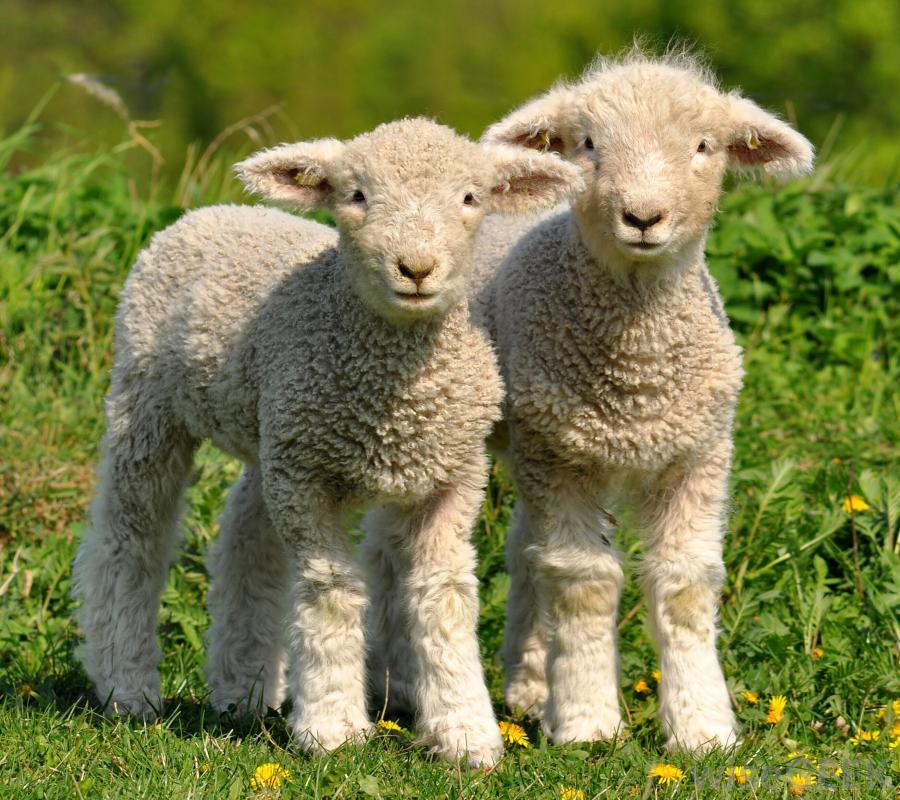 lambs 2